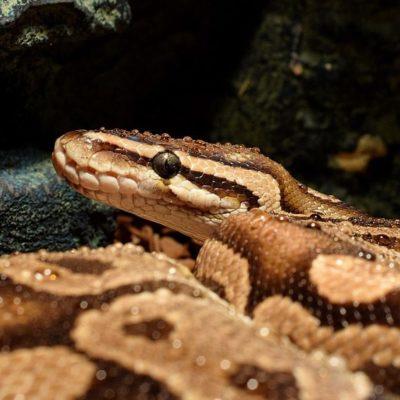 snakehead-3235601_960_720