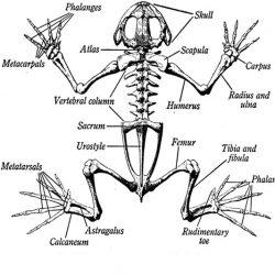 skelfrog