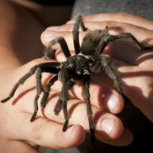 Child holding tarantula