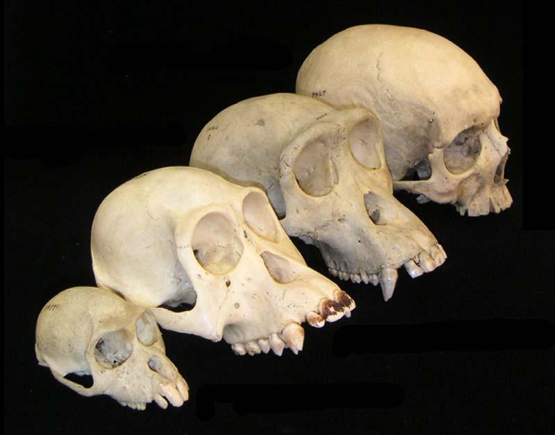 Primate_skull_series_no_legend