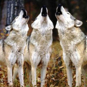 howling-wolves_2_orig